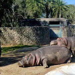 hippo-chattbir zoo.jpg