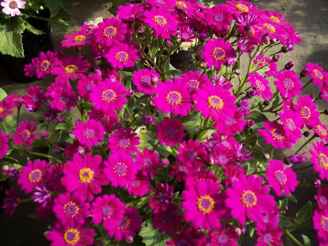 cultivo de plantas florales anuales - 100_1696.JPG