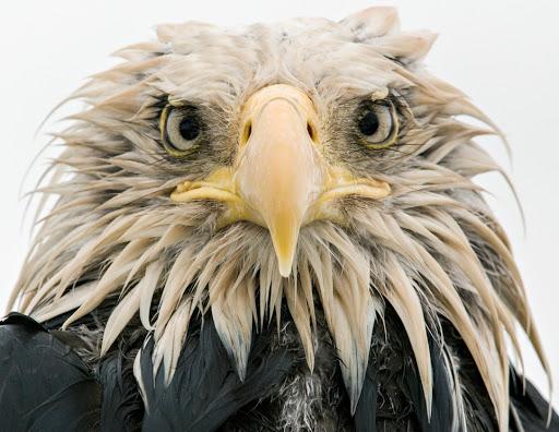 Bold eagle © Klaus Nigge - Wildlife Photographer of the Year .jpg