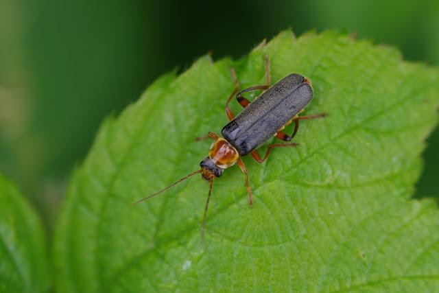 Cantharididae : Cantharis flavilabris FALLÉN, 1807. Les Hautes-Lisières (Rouvres, 28), 13 juin 2012. Photo : J.-M. Gayman