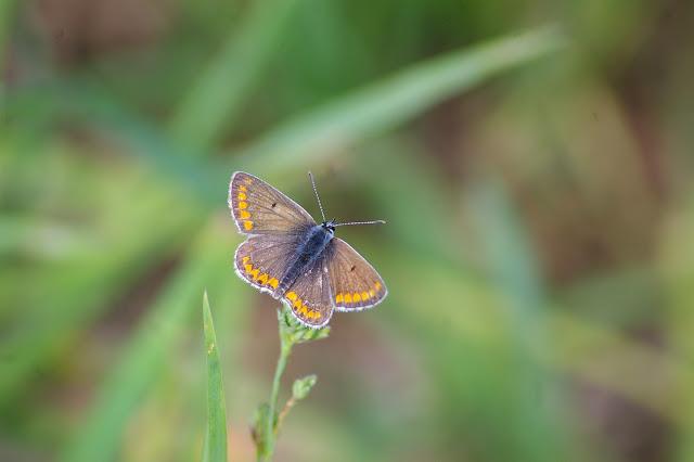 Polyommatus icarus (Rottembrug, 1775), ♀. Hautes-Lisières (Rouvres, 28), 2 juin 2010. Photo : J.M. Gayman
