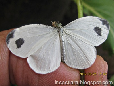 http://insectiara.blogspot.com/2016/06/kupu-kupu-leptosia-nina-baru-menetas-2.html
