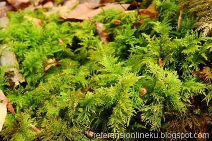 ciri-ciri tumbuhan lumut