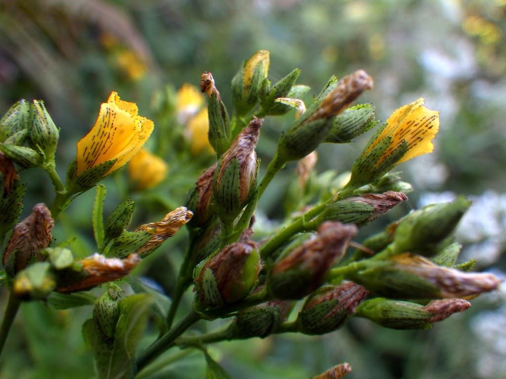 お昼には萎れる花