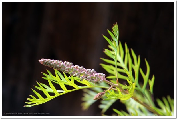 161115_FY_Grevillea-Superb_005