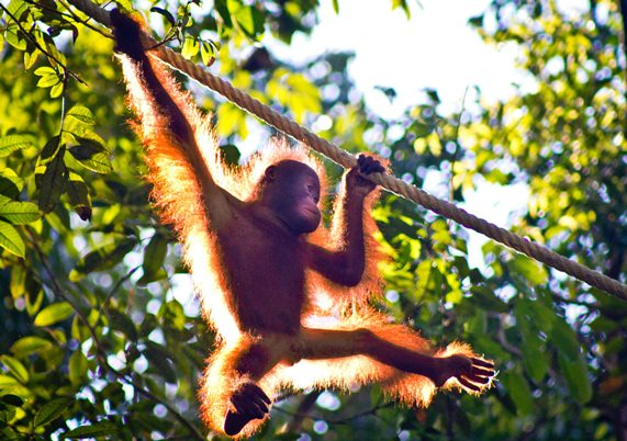 Glowing Orangutan