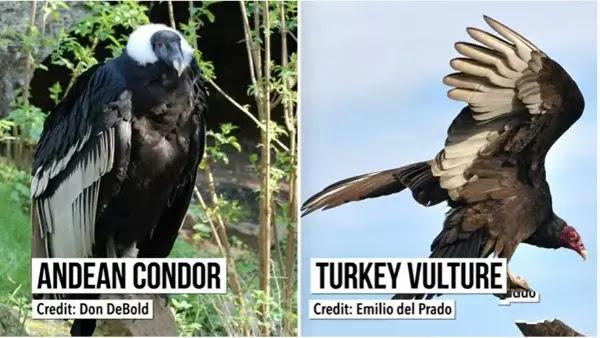 the California Condor is making a comeback