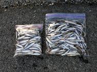 小原さんの釣り上げたワカサギ 200匹+150匹(同行者) (2013.1.12)