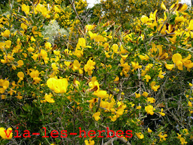 Genet, Calicotome villosa.jpg