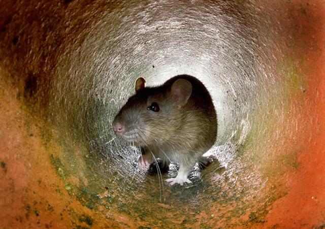 Nueva York en alerta por brote de rara enfermedad transmitida por ratas