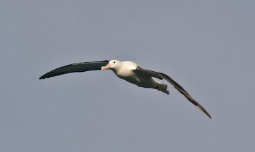 Photo: Albatros