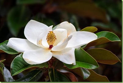 magnolia-flower-white-tree-flower-shutterstock-com_12302