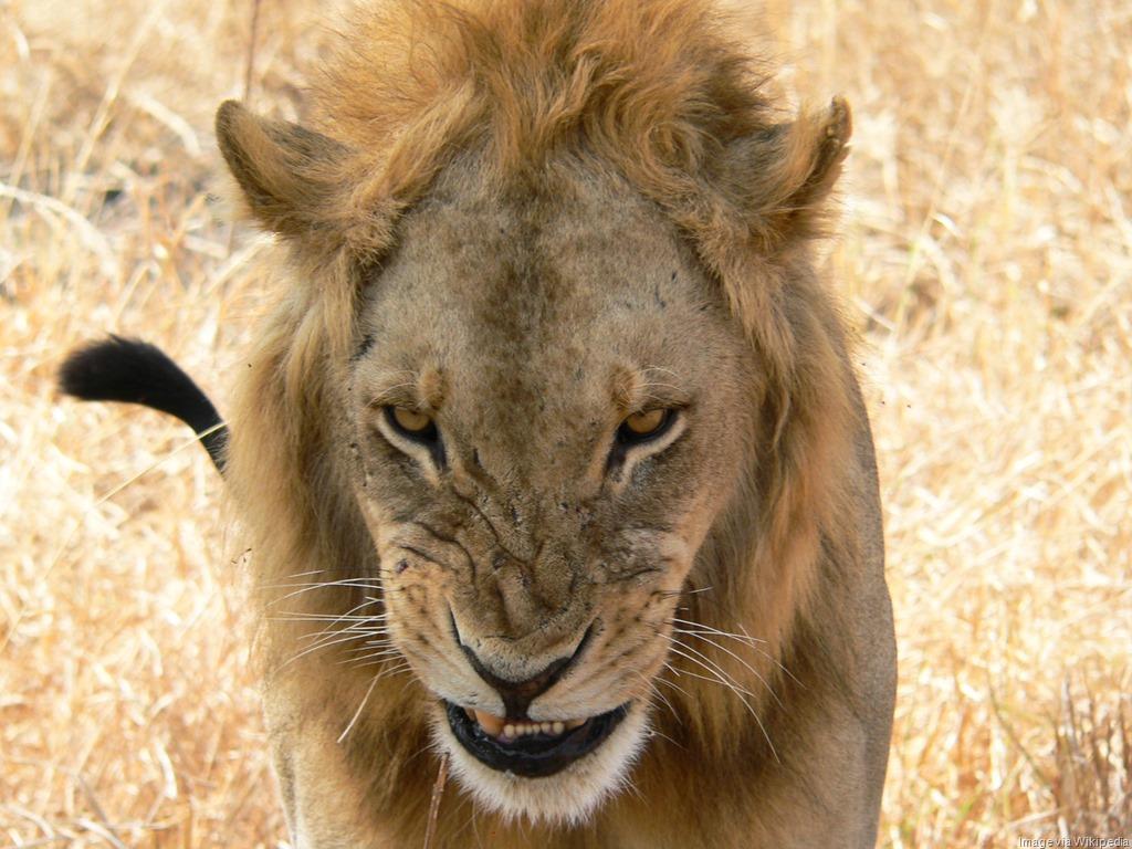 [Snarling_lion%5B8%5D]