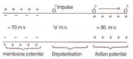action-potential