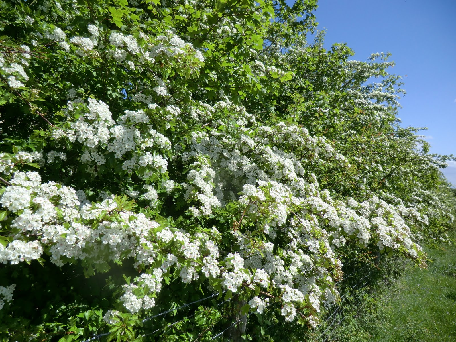 CIMG8130 Hawthorn hedgerow