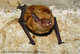 The big brown bat is known to overwinter in Iowa buildings. Their metabolism is extremely slow and the utilization of their fat reserve is also reduced. If you find a bat in the winter, do not disturb them, their reserves may deplete rapidly and diminish their chances of surviving winter.