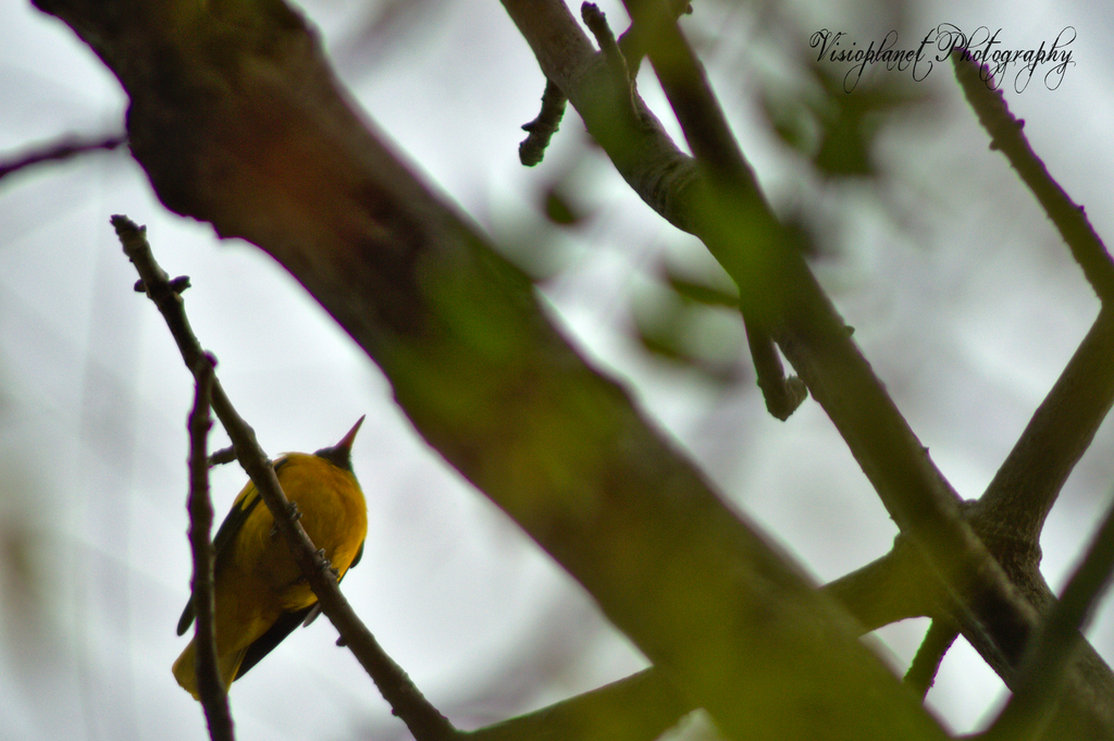 The black hooded Oriole by Sudipto Sarkar on Visioplanet