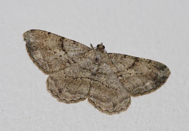 Geometridae : Ennominae : Peribatodes rhomboidaria (DENIS & SCHIFFERMÜLLER, 1775). Les Hautes-Lisières (Rouvres, 28), 9 septembre 2012. Photo : J.-M. Gayman