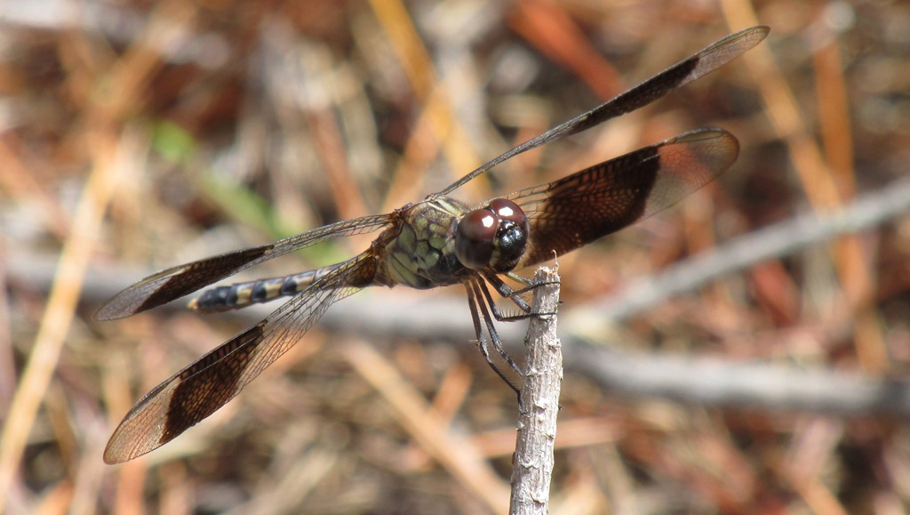 [Band-Wing-Dragonfly-Insect-Bug-34]