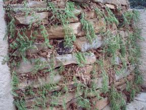 mur végétal en pierre sèche et sphaigne construit par des particuliers en corse prés d'ajaccio