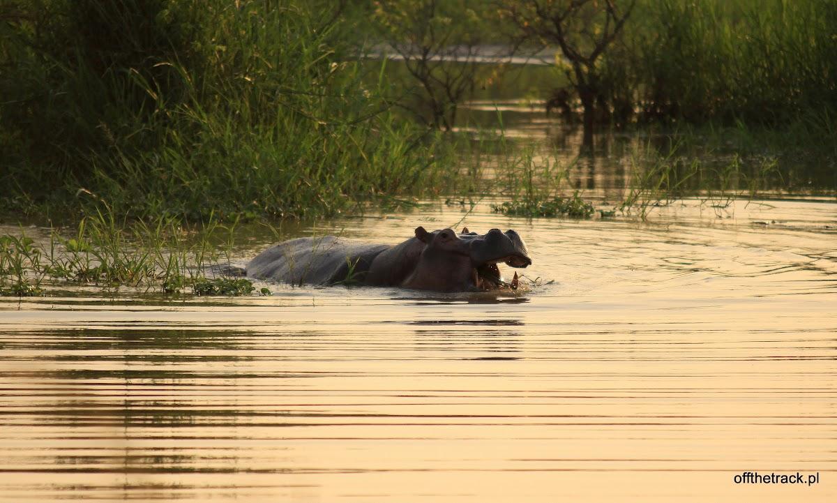Hipopotam w wodzie wieczorem, park narodowy Murchison Falls, Uganda