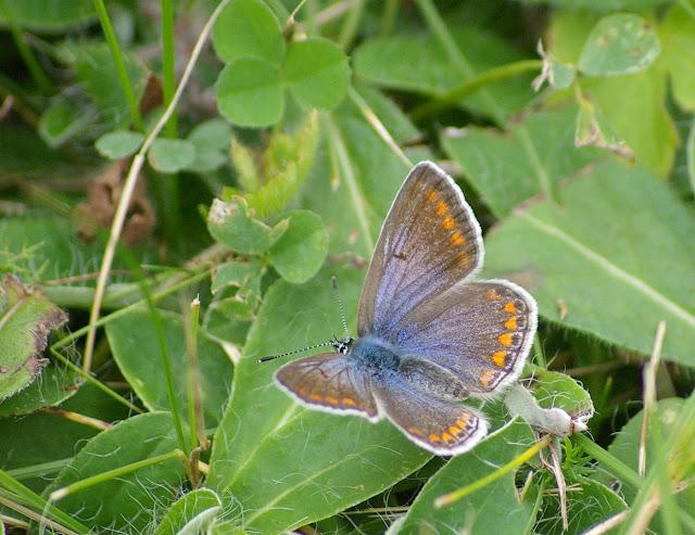 Plebejus argyrognomon BERGSTRÄSSER, 1779, femelle. Les Hautes-Lisières (Rouvres, 28), 21 septembre 2011. Photo : J.-M. Gayman