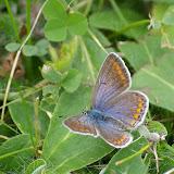 Polyommatus icarus (Rottemburg, 1775), ♀. Les Hautes-Lisières (Rouvres, 28), 21 septembre 2011. Photo : J.-M. Gayman