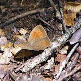 Magneuptychia sp. : M. drymo (Schaus, 1913) ? Mount Totumas, 1880 m (Chiriquí, Panamá), 21 octobre 2014. Photo : J.-M. Gayman