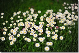 margaritas flores (35)