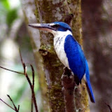 Collared Kingfisher in the mangrove swamp at Pasir Ris