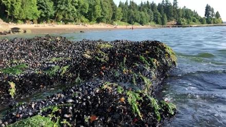 Ο ακραίος καύσωνας στον Καναδά σκότωσε 1 δισεκατομμύριο θαλάσσια πλάσματα