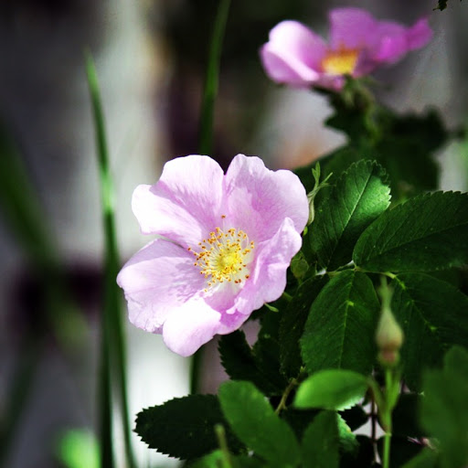 Bumper crop of wild rose flowers this year