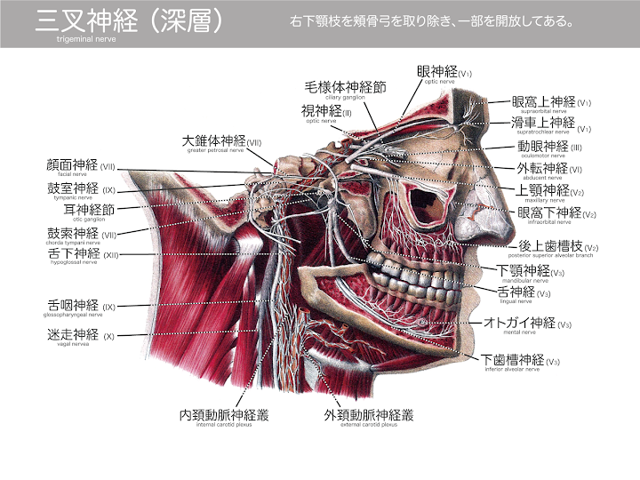 2014-31a_三叉神経02(深層):Atlas-of-Human-Anatomy-and-Surgery-page-232.png