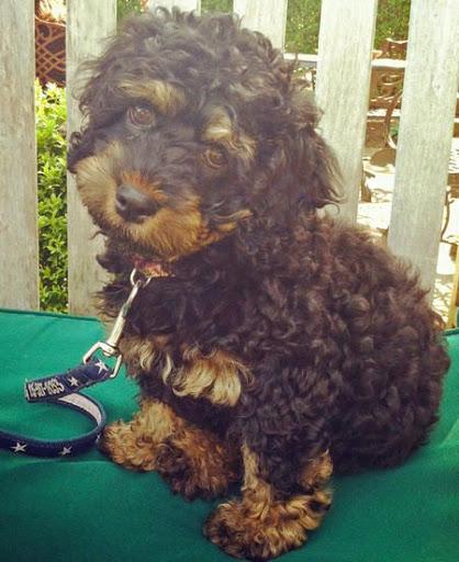 Chó Rottweiler lai Poodle - Rottle