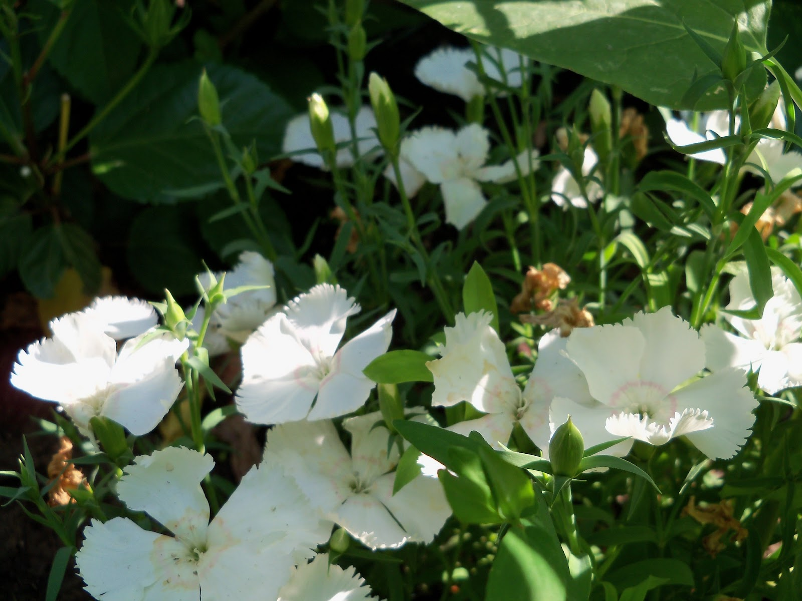Gardening 2011 - 100_7960.JPG