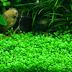 các loại cây thủy sinh đẹp dễ trồng, dễ tìm không cần đất nền, CO2