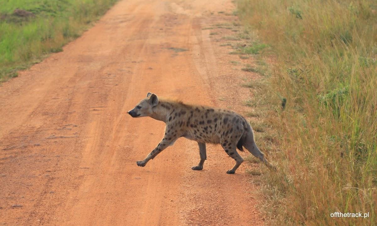 Hiena centkowana na drodze, park narodowy Murchison Falls, Uganda