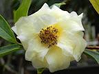 淡黄色 八重咲き 中輪