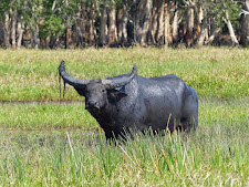 Great buffalo bull standing out in the water on Carmor Plains