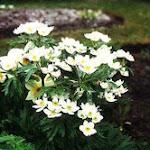 narcissus-flowered_anemone.jpg