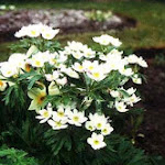 narcissus-flowered_anemone.jpg