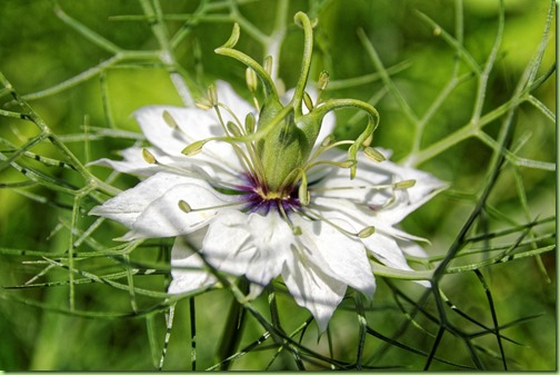 nigella damascena love in the mist