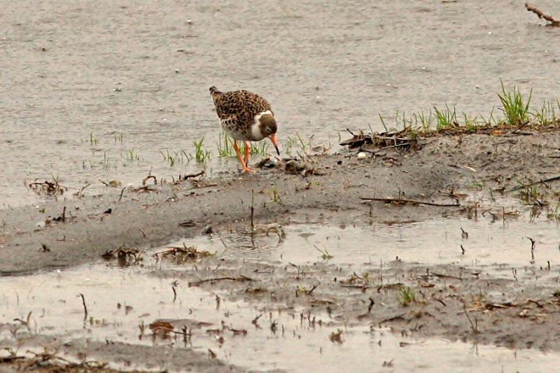 Bataus Comana ploaie pasari birdwatching