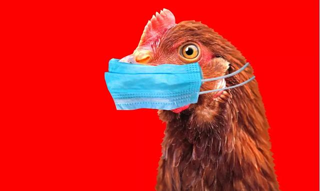Γρίπη των πτηνών: Πώς να μαγειρεύεις τα πουλερικά – Οδηγίες του ΕΦΕΤ