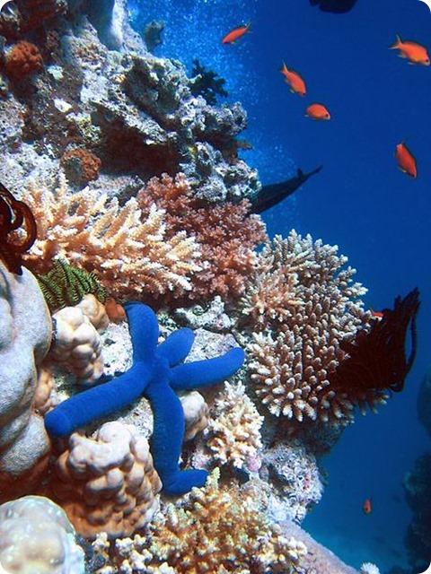 Biodiversity-Blue_Linckia_Starfish