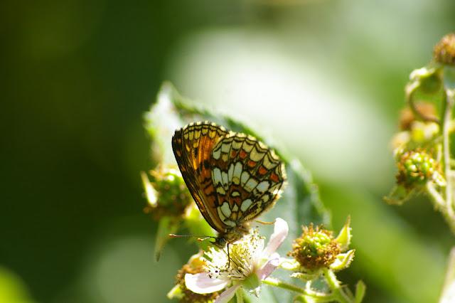 Melitaea athalia (Rottemburg, 1775), femelle. Hautes-Lisières, 6 juillet 2010. Photo : J.-M. Gayman