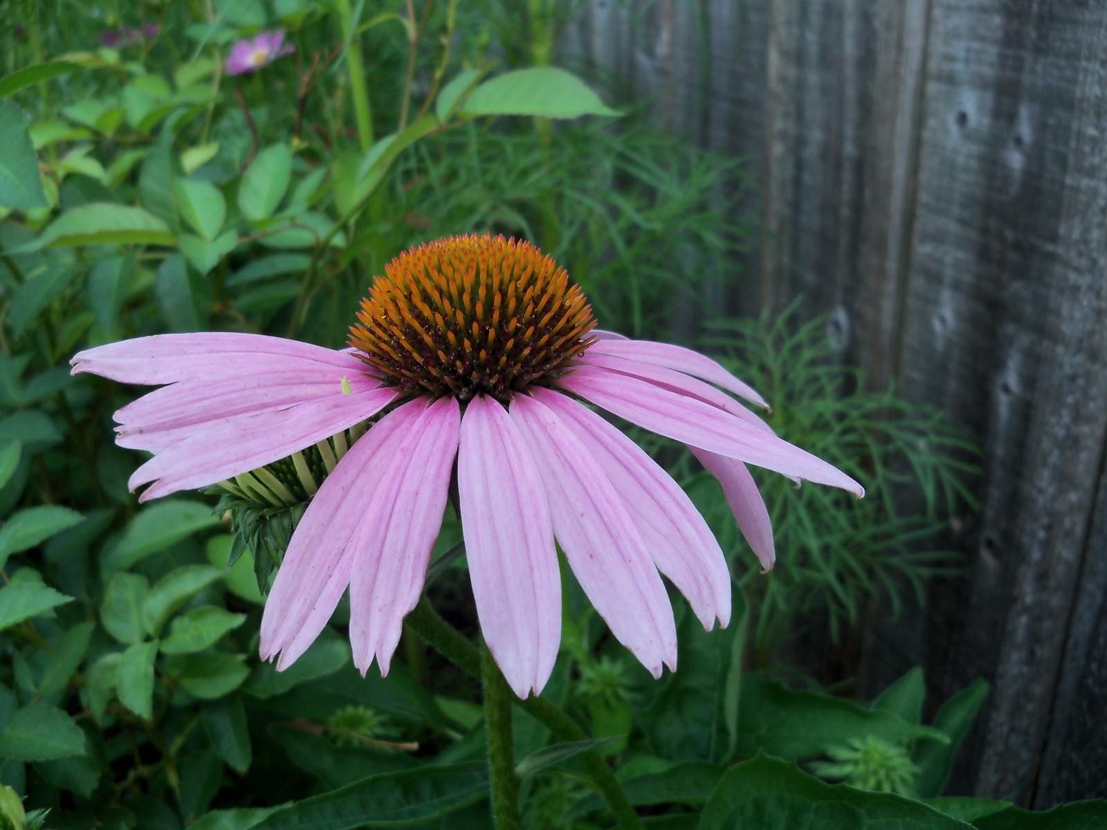 Gardening 2010, Part Two - 101_3263.JPG