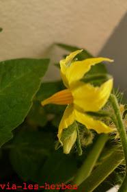 fleur de tomate.jpg