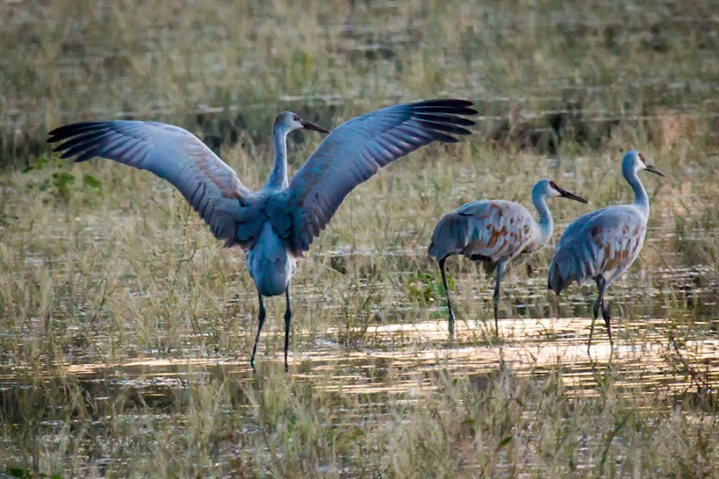 3 sandhill cranes w wing display