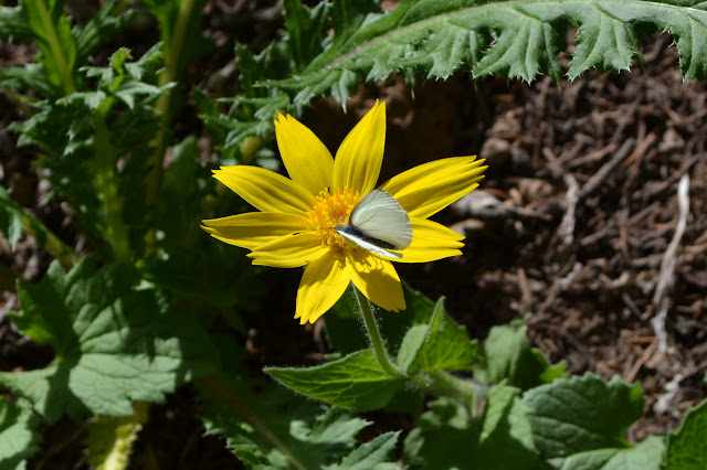 drinking from a yellow daisy, a butterfly